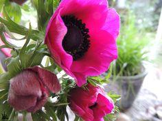 Anemonen, Flower-Friday