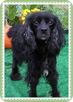 Act quickly to adopt . Pets at this Shelter may be held for only a short timeMarietta, GA - Cocker Spaniel Mix. Meet SOPHIE a Dog for Adoption.