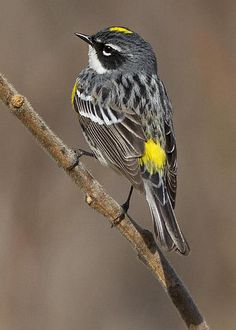Yellow Rumped Warbler - photo by Mircea Costina Photography