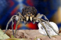 Wolf Spiders are notable for being one of the more caring mothers of the arachnid world. While most spiders hang their eggs in a web and then go on their merry way, wolf spiders actually strap their egg sac to their bodies and carry it wherever they go. Then, once the eggs hatch, mommy wolf spider continues to take care of her little ones, letting them ride on her back until they are old enough to fend for themselves.