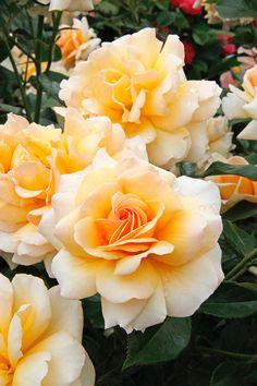 'Angie' | Floribunda Rose. Delbard 2003