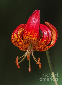 Title  Red Hot Lily   Artist  Angie Vogel   Medium  Photograph - Photography / Photograph