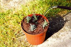 Ako rozmnožiť levanduľu 6 Planter Pots, Gardening, Flowers, Plants, Outdoor, Ideas, Gardens, Janus, Lawn And Garden