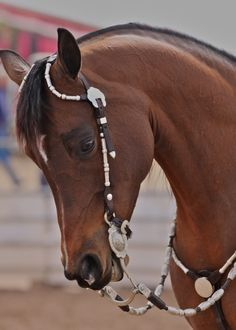 That's cause it's an Arabian! liveloveride4life:  don't usually reblog western but that horse is gorgeous.