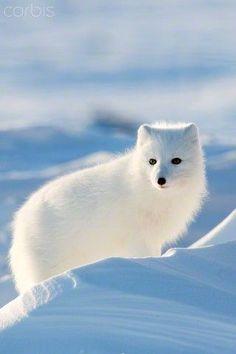 Artic fox.