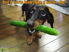 Funny Dachshund Pictures with Captions | Funny little Dachshund with what he thinks might be a bone