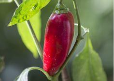 Paprikan hoito ja kasvatus vaatii kärsivällisyyttä, säännöllisyyttä ja tarkkuutta. Paprika kasvaa parhaiten lämpimässä paikassa. Lue parhaat hoitovinkit Viherpihasta.