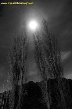 Chopos y luna llena