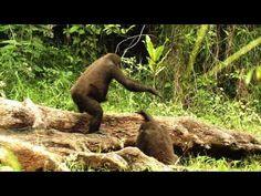 Diese Einblicke ins Gorilla-Baby-Glück sind einfach herzzerreißend! ❤️ Helft…