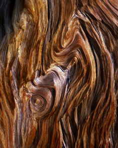 This exposed grain of a Bristlecone Pine Tree makes the perfect texture Wood Texture, Texture Art, Natural Forms, Natural Texture, Natural Wood, Patterns In Nature, Textures Patterns, Bristlecone Pine, Tree Bark