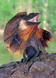 Resultado de imagen de clamidosaurio kingii