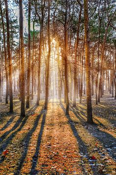 Light and shadow - Sunlight throw the pine forest