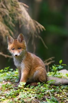 atraversso:  Little Fox  by Selda Schretzmann