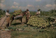 Los hombres guatemaltecos cargan plátanos en una granja de United Fruit Company en 1926. ( Foto National Geographic )