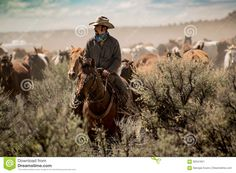 Cowboy Leading Horse Herd Through Dust And Sage Brush During Roundup - Download From Over 62 Million High Quality Stock Photos, Images, Vectors. Sign up for FREE today. Image: 92541941