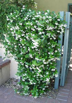 trachelospermum jasminoides/star jasmine - has glossy dark green leaves, can be used as groundcover