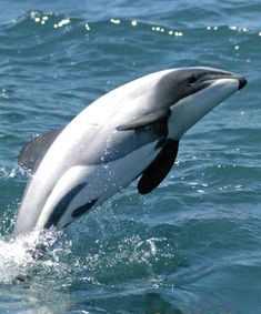 Maui - only 55 adult Maui's Dolphins left