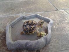 Baby Desert Leopard Tortoise