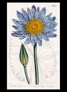 Hand-colored antique botanical print, plate #552, of Blue Water-Lily [nymphæa cærulea] from William Curtis' Botanical Magazine, published in 1802.