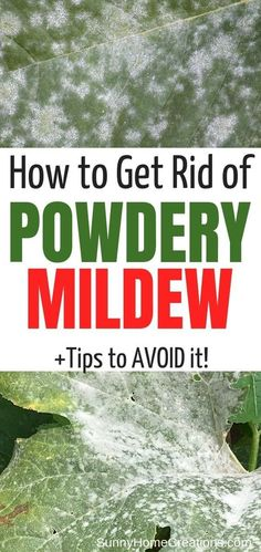 House Plant Maintenance Tips How To Identify, Treat, And Prevent Powdery Mildew. In the event that Your Plant Leaves Have White Spots That Almost Look Like Powder You Might Have Powdery Mildew. It's Very Common In Gardens, Especially On Squash Plants. Gardening For Beginners, Gardening Tips, Flower Gardening, Fairy Gardening, Powdery Mildew Treatment, Planting Pumpkins, Squash Plant, Life Hacks, Plant Diseases