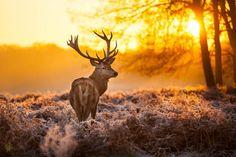 Buck at dawn