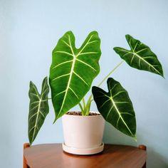 Green Velvet Alocasia is a popular indoor houseplant. Planta Alocasia, Alocasia Plant, House Plants Decor, Plant Decor, Garden Plants, Indoor Plants, Tropical Garden, Tropical Plants, Elephant Ear Plant