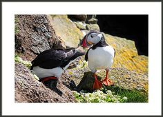 Puffin Couple Framed Print: Everything o.k. with our breeding place darling?  Puffin humor, a funny bird couple checking the cave in Latrabjarg, West Iceland. Available as poster, greeting card, framed fine art print, metal, acrylic or canvas print. (c) Matthias Hauser hauserfoto.com - Art for your Home Decor and Interior Design needs.