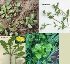 Edible Weeds in Your Garden - http://www.organicfarmingblog.com/edible-weeds-garden/