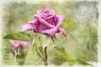 Roses - _6281811PE