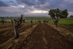 My favorite. Old vine Zinfandel on sandy loam soils in Russian River Valley by Justin Kern