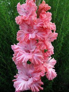 Pink Ruffled Gladiolas