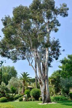Eucalyptus + Phoenix canariensis.