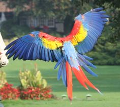 Flying Scarlett Macaw.