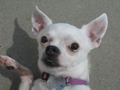 Callie is an adoptable Chihuahua Dog in Shaftsbury, VT. Hi my name is Callie and I am 3 year old Chihuahua. I was brought to Second Chance because my guardian no longer had enough time for me. I came ...