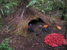 Nature's curators: the Vogelkop Bowerbird | ALMF