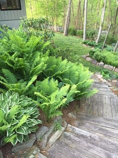 Ostrich fern and hostas lining a pathway; full shade and moist conditions are perfect.