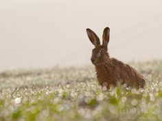 Brown Hare Brown Hare (Lepus europaeus) amongst the early morning dew, Hertfordshire