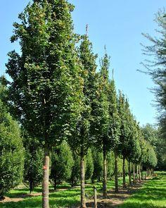 Acer campestre 'Green Column' -