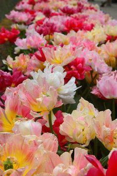 la tulipe, belles tulipes cultivées en différentes couleurs
