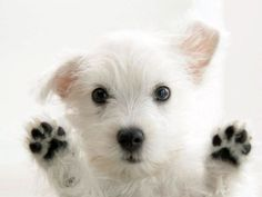 4 Dog Puppy West Highland Terrier Greeting Notecards/ Envelopes Set. $6.99, via Etsy.