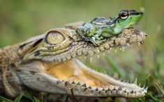 A frog and a crocodile strike up an unusual friendship. Indonesia.   		 	 		 Share 	 	 371 	 	 	 Facebook 	 	 116 	 	 	 Twitter 	 	 238 	 	 	 StumbleUpon 	 	 17 	 Pictures of the day: 17 June 2015 - Telegraph