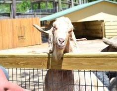 Get your goat! Well, at least pet a goat when you visit the Alabama Gulf Coast Zoo. Alabama Gulf Coast Zoo, Goats, At Least, Animals, Animales, Animaux, Animal, Animais, Goat