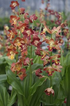 29 Calanthe Orchids Ideas Orchids Beautiful Orchids Plants