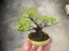盆栽:苔の成長に負けそう|春嘉の盆栽工房