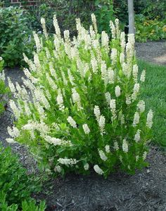small evergreen shrubs for landscaping is a great choice for a compact shrub in a damp shady area also holly dwarf and garden by garage small evergreen shade shrubs Shade Loving Shrubs, Shade Shrubs, Trees And Shrubs, Small Shrubs For Shade, Shade Evergreen Shrubs, White Flowering Shrubs, Shrubs For Landscaping, Garden Shrubs, Shade Garden