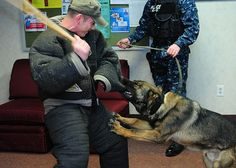 Master-at-Arms 1st Class David Gutierrez, acts as an aggressor during training with military working dog, Zach, during a K-9 unit patrol exercise at Joint Expeditionary Base Little Creek-Fort Story. The routine exercise is performed to keep the K-9 unit mission ready. (U.S. Navy photo by Mass Communication Specialist 3rd Class Tamekia L. Perdue/Released)