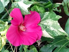 Tropical and Variegated Plants by Cafe De Higos. Variegated Plants, Fiddle Leaf, Hibiscus, Tropical, Rose, Green, Figs, Pink, Roses