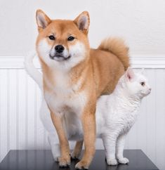 So I was meant to have a shiba inu Animals And Pets, Baby Animals, Funny Animals, Cute Animals, Pet Dogs, Dogs And Puppies, Dog Cat, Beautiful Dogs, Animals Beautiful