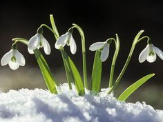 City Of Rochester Society Friends of the Vines Snowdrop Planting