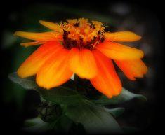 """""""Vibrant Little Zinnia"""" by Kay Novy #flower #zinnia #vibrant #orange #enhanced #photography #KayNovy #kkphoto1"""